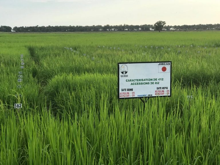 Gravity irrigated and dry land paddy management & research