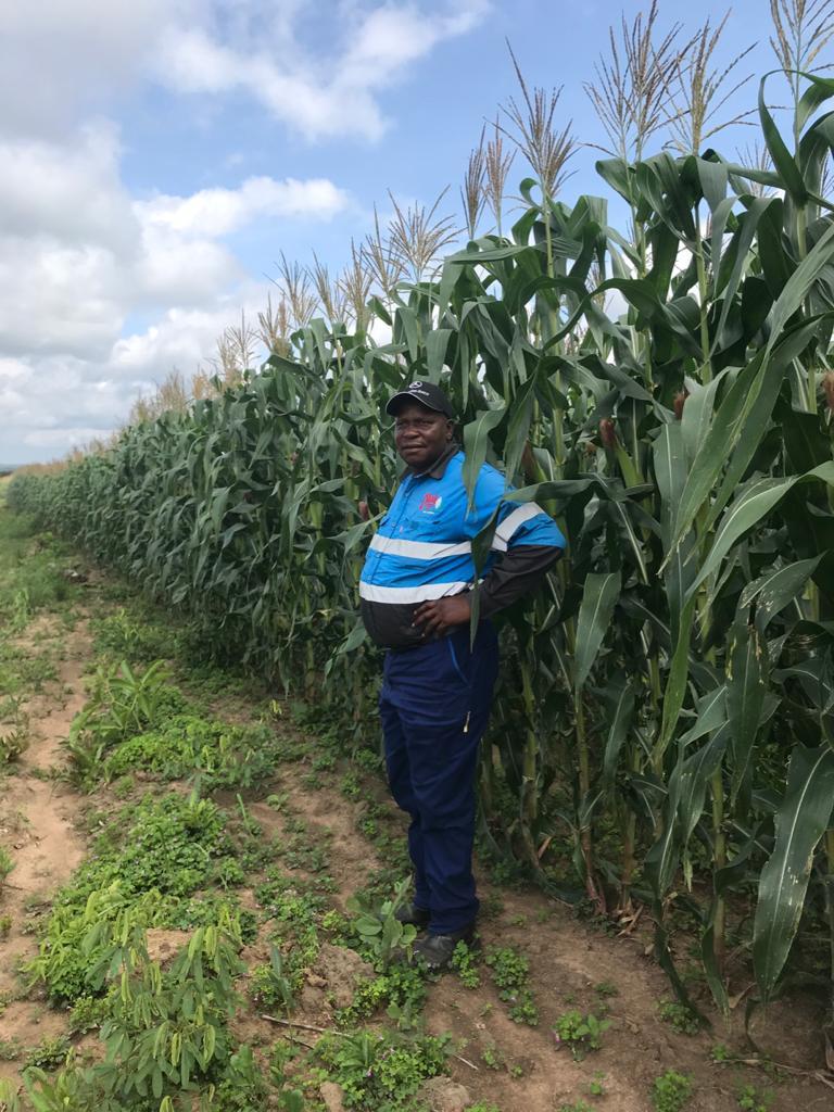 Maize crop - Kolwezi, DRC, Jan 2020