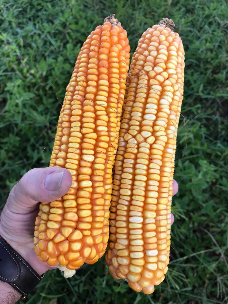 Mr. Vilavala farm near Bie, maize, Angola July 2018