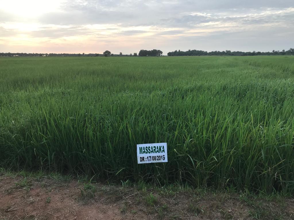Paddy rice variety nursery, Koba, Guinea, Sep 2019