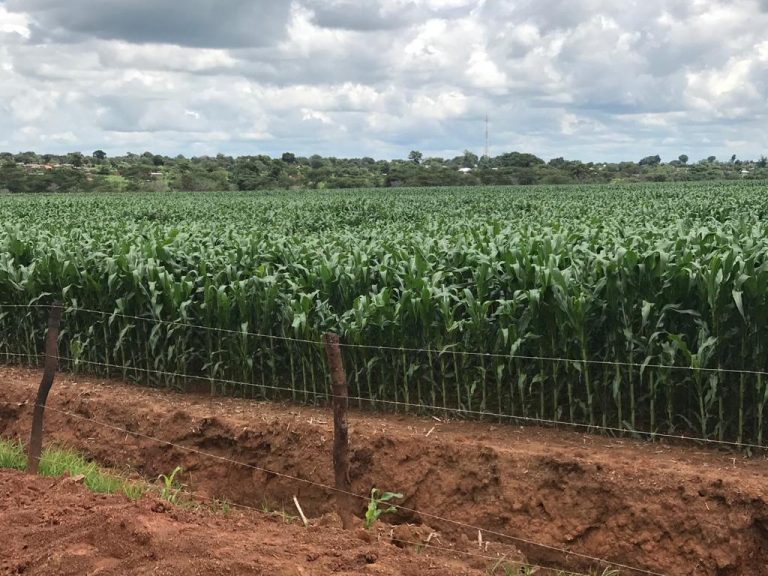 Commercial Maize farm - Lumumbashi, DRCongo